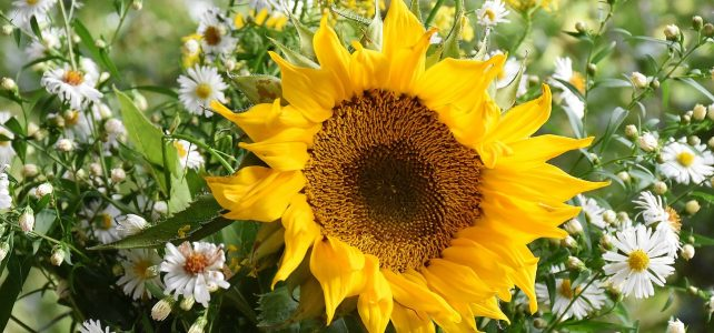 horticulture - sunflower
