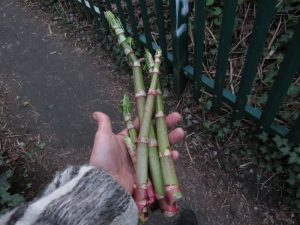 The best Japanese knotweed stems are cut to around 8 inches or so