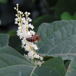 The delciate sprays of white Japanese knotweed flowers are a magent to bees in the summer