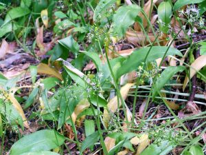 Wild garlic leaves and seeds in late May