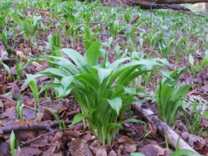 Wild garlic leaves pop up on late winter, and growing through into the late spring