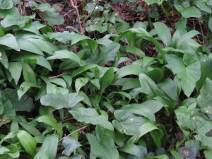 Wild garlic and lords and ladies will often be found growing together in woodland